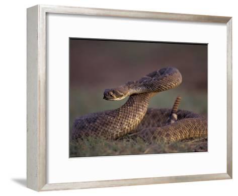 A Rattlesnake Coils up in a Threatening Manner-Joel Sartore-Framed Art Print