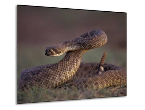 A Rattlesnake Coils up in a Threatening Manner-Joel Sartore-Metal Print