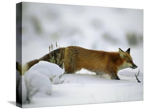 Red Fox in the Snow-Joel Sartore-Stretched Canvas Print