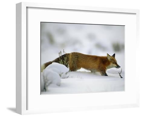 Red Fox in the Snow-Joel Sartore-Framed Art Print