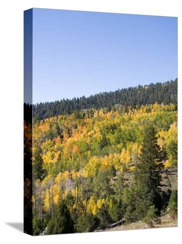 A Forest Changes Color in Autumn as the Aspen Trees Turn Golden-Taylor S^ Kennedy-Stretched Canvas Print