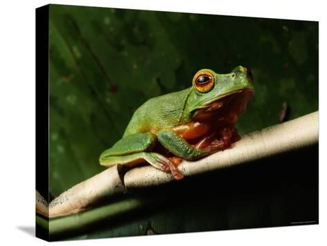 Dainty Green Tree Frog--Stretched Canvas Print
