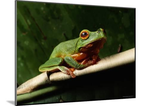 Dainty Green Tree Frog--Mounted Photographic Print