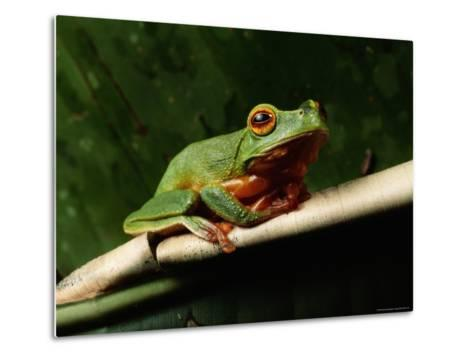 Dainty Green Tree Frog--Metal Print