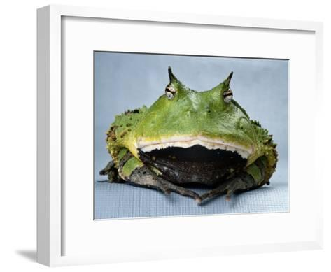 A Colombian Horned Frog--Framed Art Print