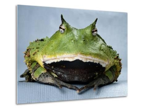 A Colombian Horned Frog--Metal Print