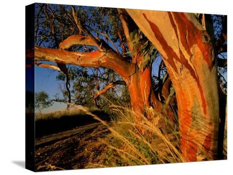 Red Swamp Banksia--Stretched Canvas Print