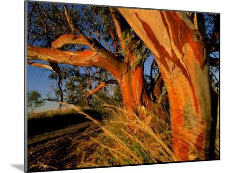 Red Swamp Banksia--Mounted Photographic Print