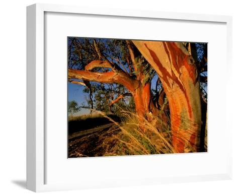 Red Swamp Banksia--Framed Art Print