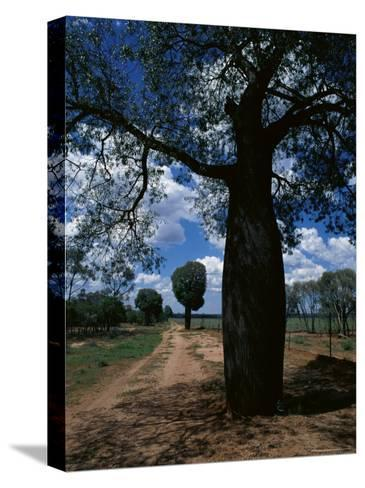Baobab Trees Along the Dog Fence, Queensland, Australia--Stretched Canvas Print