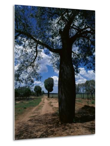 Baobab Trees Along the Dog Fence, Queensland, Australia--Metal Print