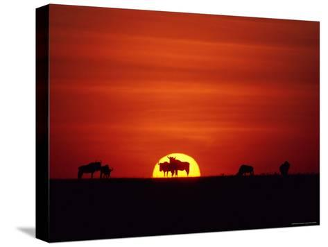 Wildebeests are Silhouetted against the Sun-Medford Taylor-Stretched Canvas Print