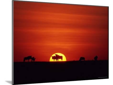 Wildebeests are Silhouetted against the Sun-Medford Taylor-Mounted Photographic Print