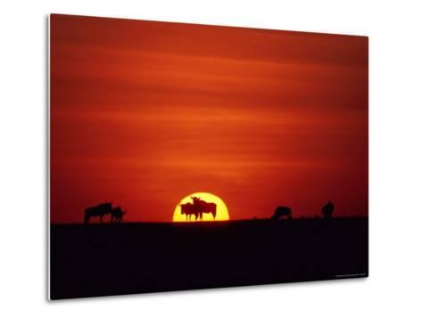 Wildebeests are Silhouetted against the Sun-Medford Taylor-Metal Print