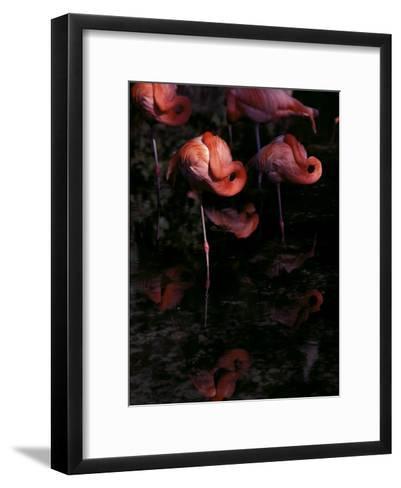 Chilean Flamingos Sleeping While Balanced on Single Legs--Framed Art Print