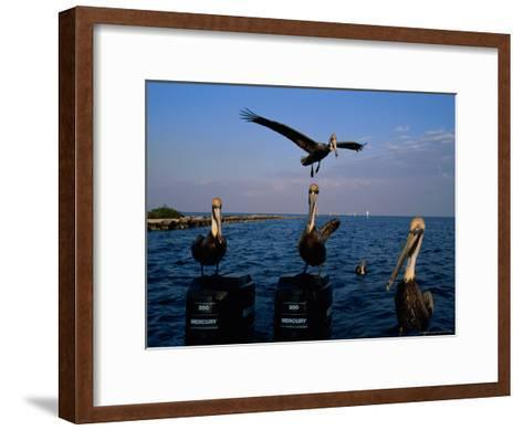 Brown Pelicans Perched on Outboard Motors--Framed Art Print
