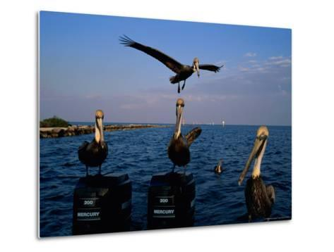 Brown Pelicans Perched on Outboard Motors--Metal Print