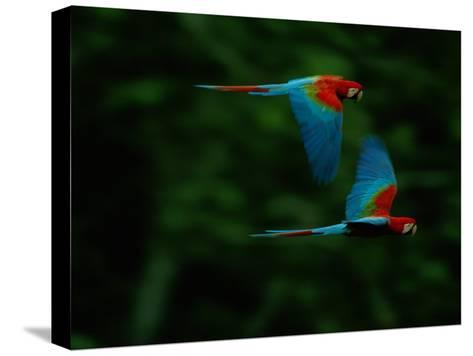 A Mated Pair of Red-And-Green Macaws Soar Above the Forest-Joel Sartore-Stretched Canvas Print
