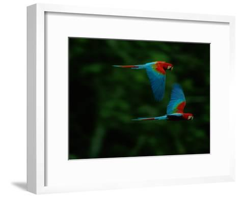 A Mated Pair of Red-And-Green Macaws Soar Above the Forest-Joel Sartore-Framed Art Print