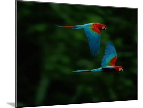 A Mated Pair of Red-And-Green Macaws Soar Above the Forest-Joel Sartore-Mounted Photographic Print