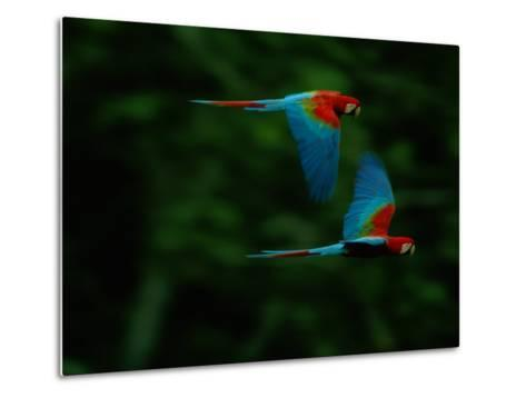 A Mated Pair of Red-And-Green Macaws Soar Above the Forest-Joel Sartore-Metal Print