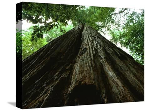 View of the Trunk of the Tallest Tree in the World-James P^ Blair-Stretched Canvas Print