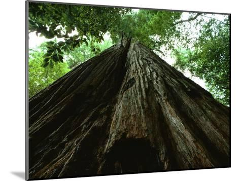 View of the Trunk of the Tallest Tree in the World-James P^ Blair-Mounted Photographic Print