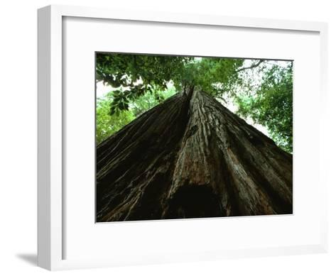 View of the Trunk of the Tallest Tree in the World-James P^ Blair-Framed Art Print