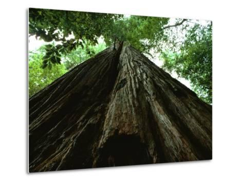View of the Trunk of the Tallest Tree in the World-James P^ Blair-Metal Print