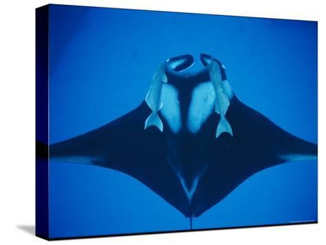 A Manta Ray with Remoras--Stretched Canvas Print