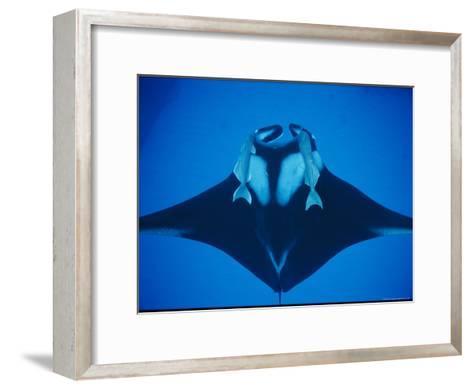 A Manta Ray with Remoras--Framed Art Print