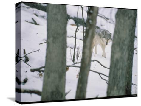 Wolf-Michael Nichols-Stretched Canvas Print