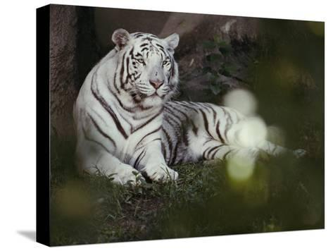 A Rare White Tiger at the Cincinnati Zoo-Michael Nichols-Stretched Canvas Print