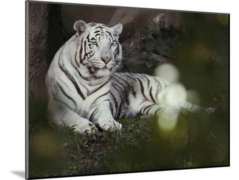 A Rare White Tiger at the Cincinnati Zoo-Michael Nichols-Mounted Photographic Print