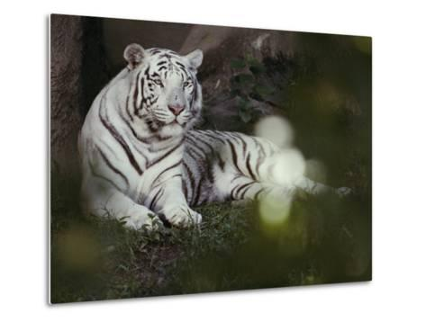 A Rare White Tiger at the Cincinnati Zoo-Michael Nichols-Metal Print