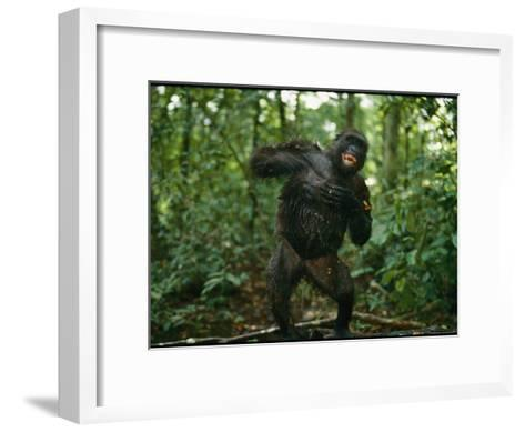 A Gorilla Beats its Chest to Achieve Recognition Within its Group--Framed Art Print