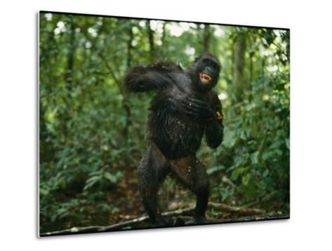 A Gorilla Beats its Chest to Achieve Recognition Within its Group--Metal Print