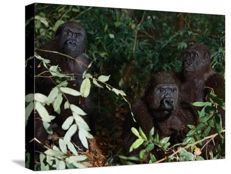 Three Western Lowland Gorillas Sit in the Jungle--Stretched Canvas Print