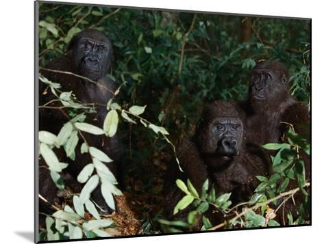 Three Western Lowland Gorillas Sit in the Jungle--Mounted Photographic Print
