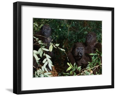 Three Western Lowland Gorillas Sit in the Jungle--Framed Art Print