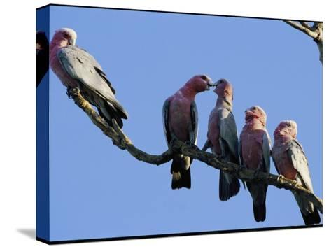 A Row of Galah Cockatoos Perched on a Small Tree Branch-Nicole Duplaix-Stretched Canvas Print