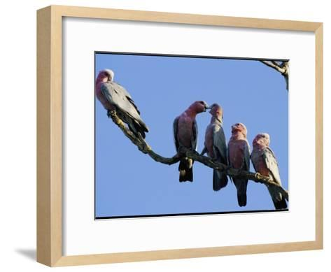 A Row of Galah Cockatoos Perched on a Small Tree Branch-Nicole Duplaix-Framed Art Print