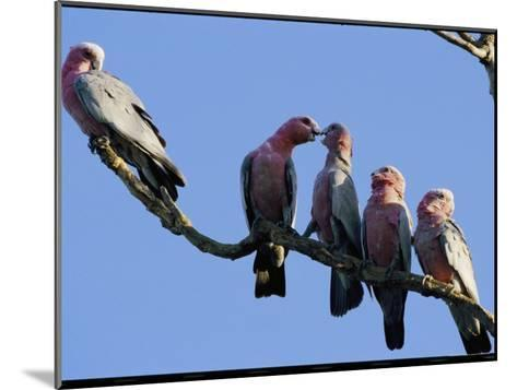 A Row of Galah Cockatoos Perched on a Small Tree Branch-Nicole Duplaix-Mounted Photographic Print