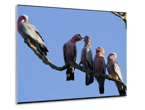 A Row of Galah Cockatoos Perched on a Small Tree Branch-Nicole Duplaix-Metal Print