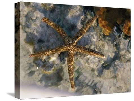 A Starfish in a Tide Pool on Australias Great Barrier Reef-Nicole Duplaix-Stretched Canvas Print