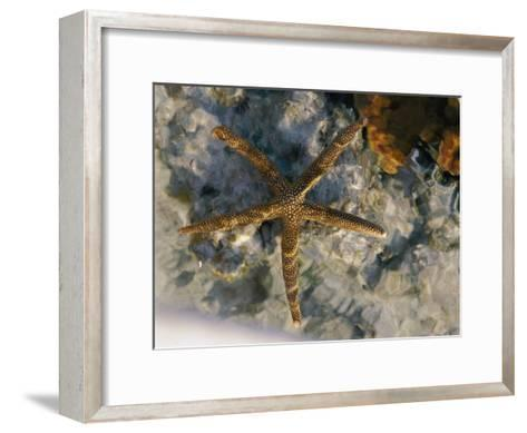 A Starfish in a Tide Pool on Australias Great Barrier Reef-Nicole Duplaix-Framed Art Print