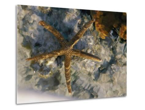 A Starfish in a Tide Pool on Australias Great Barrier Reef-Nicole Duplaix-Metal Print