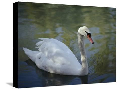 Close-up of a Tundra Swan Swimming in a Shaded Pond-George F^ Mobley-Stretched Canvas Print