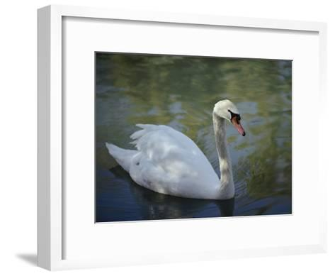 Close-up of a Tundra Swan Swimming in a Shaded Pond-George F^ Mobley-Framed Art Print