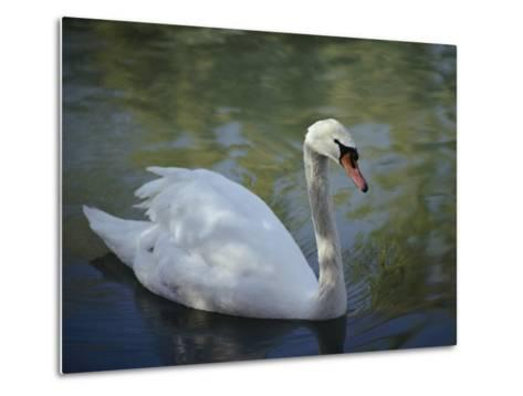 Close-up of a Tundra Swan Swimming in a Shaded Pond-George F^ Mobley-Metal Print